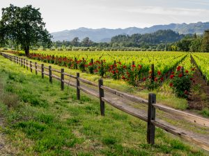 Visiting a scenic vineyard should be a part of all napa valley vacations