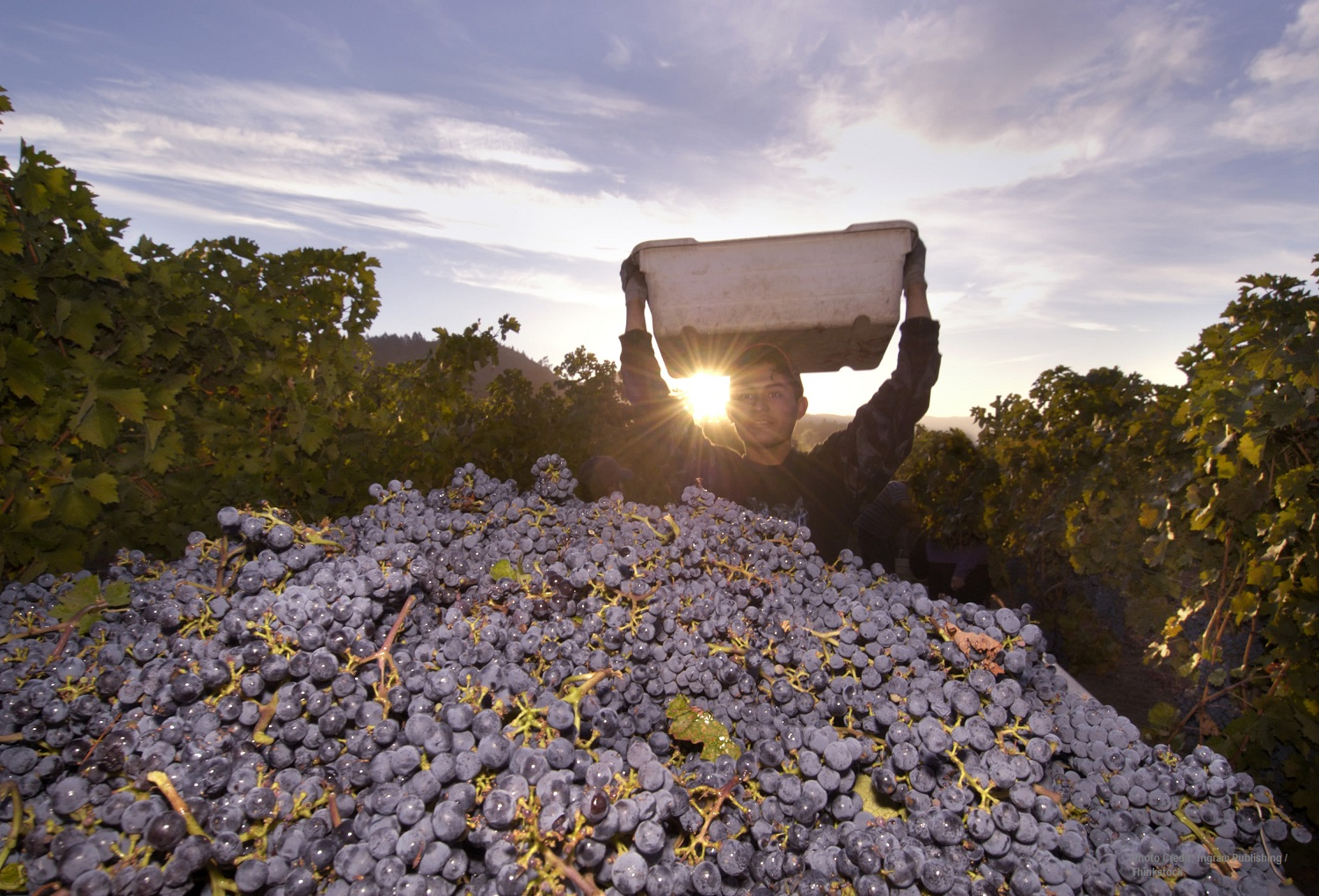Gorgeous grapes ready for the Sonoma Harvest Festival