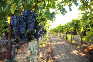 Delicious Nichelini Winery products begin in the vineyard