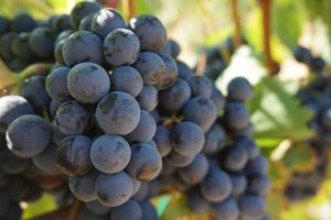 Beautiful grapes on the vine are the start of delicious wine at Barnett Vineyards