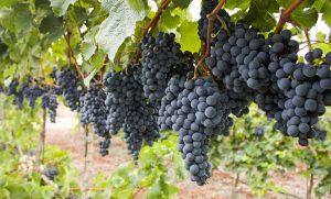 Cabernet Sauvignon Grapes on the vine