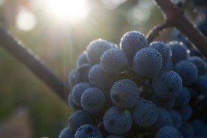 Cabernet Sauvignon Grapes in Napa Valley