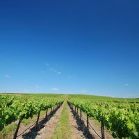 view looking down a row of grapes at a vineyard