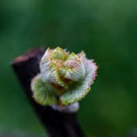 Bud break close-up in a Napa California vineyard Spring is one of the best times of year to visit napa valley
